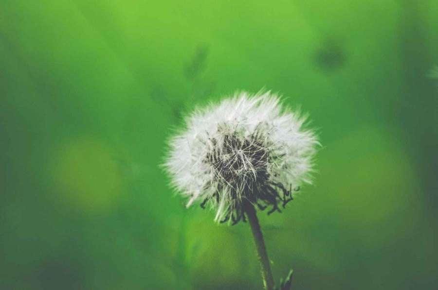 dandelion plant - air conditioner for allergies